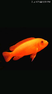 F1 Red Zebra  (Pseudotropheus Estherae) Cichlids Available!!!