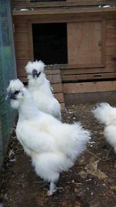 Silkie rooster for sale