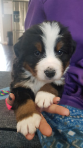 Bernese Mountain Dog Puppies * 1 available*