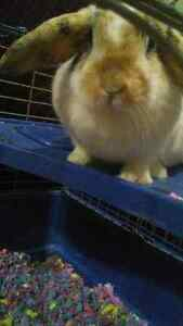 Bunny for sale - w cage food n accessories