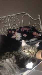 URGENT! Lovely female spayed  cat looking for caring family