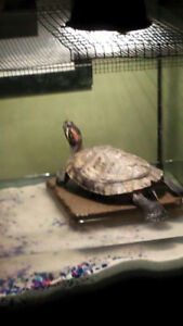 Turtle in need of home