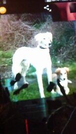 saluki greyhound dog