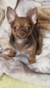 Chihuahua puppy purebred male