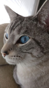 Gorgeous siamese tabby cats need a new home!
