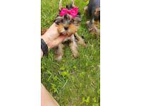 Yorkshire terrier miniatures puppies
