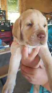 (SOLD) Chocolate and Yellow Lab Puppies(sold)