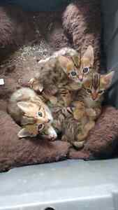 Bengal kittens for sale. Tica reg.