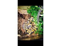 Pastel/normal Royal Python