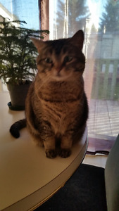 Short legged tabby longing for a permanent home