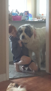 Beautiful Great Pyreneee to rehome
