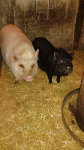 Potbelly pigs **Need gone ASAP**