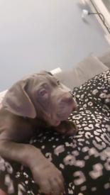 Neopolton mastiff