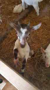 FARM: Searching for kid bucklings Stratford Kitchener Area image 1