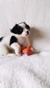 Adorable friendly shihtzu cavalier puppies!!!