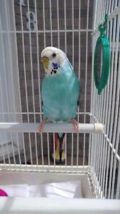 Une belle perruche femelle de 2 ans à vendre