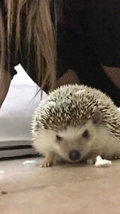 Female Hedgehog with Cage For Rehoming