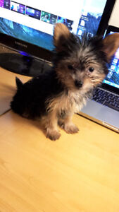 Yorkie Adopt Or Rehome Pets In Ontario Kijiji Classifieds