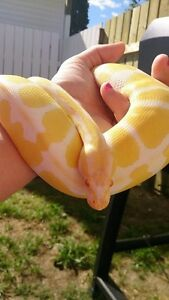 Female albino ball python