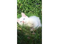 Gorgeous half rag doll kitten female