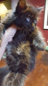 Gorgeous Maine Coon Kittens!..JUST 2 LEFT!