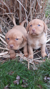 PURE BRED FOX RED LABS