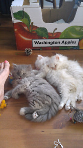 NEW PRICE!!! 3 male persian kittens