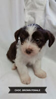 Border Collie X Maltese Puppies for Sale (Available after Feb25)
