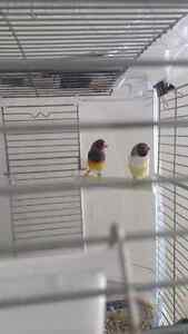 Pair of Gouldian Finches Banded