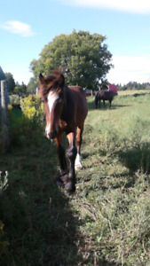 1 year old Clydesdale x Percheron for sale!!