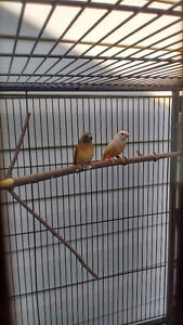Gouldain finches