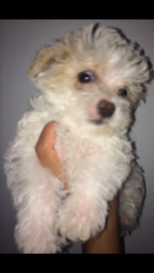 Only 3 Puppies left. Yorkie/Shih-Tzu-Chihuahua mix.