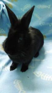 "Adult Male Rabbit - American: ""Luckie"""