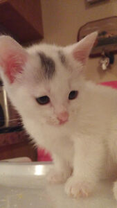 chatons abyssins x blanc