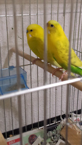 Proven Pair Of Budgies ( gave babies )(proof)