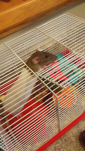 Free 5 month old female fancy rat to a good home.