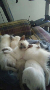Hymalayan purebread kittens looking for new family or home soon