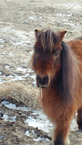 12 year old child safe miniature mare
