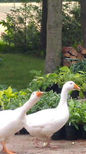 Embden Geese -breeding pair for sale