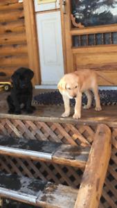 Purebred Lab pups