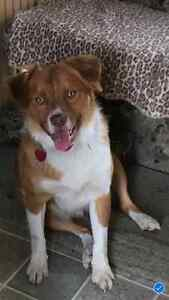 Great Young Border Collie Mix ... Rescue