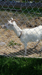 2 Goats *lowered price*