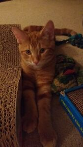 Dexter - Male Orange tabby kitten