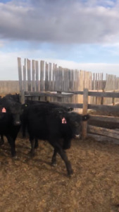 50 Blk & Blk Brkel,Quality replacement Hfrs born 04/05/18   .
