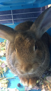 Lop/flemish bunny for sale