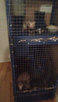 Farrets with homemade cage 400obo