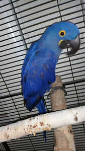 Breeder HYACINTH MACAW MALE, GOOD FOR BREEDING ONLY