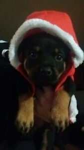 Rottweiler Puppies Just in Time For Christmas