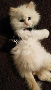 Minuet kitten - Male, needs a new loving home
