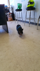 REDUCED: Micro mini pig for sale